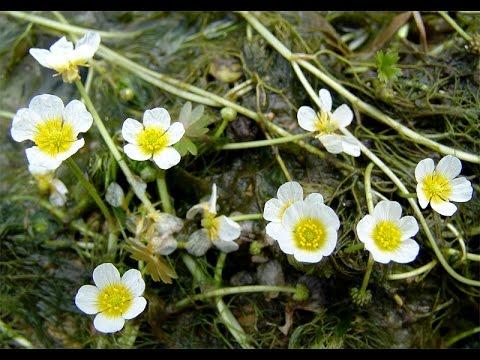 Цветы лютики садовые : фото, посадка и уход при выращивании