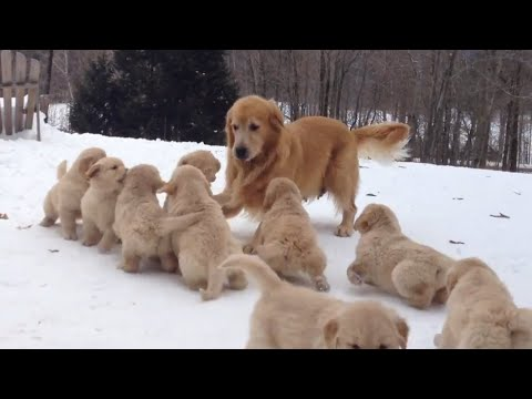 Mama Dog Plays With Her Puppies   Puppy Pile