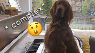 IRISH SETTER PLAYS COMPLEX PIANO PIECE  ?!?