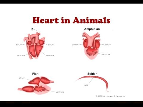 Heart In Animals | Two Chambered And 3 Chambered Heart