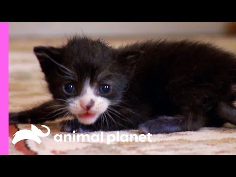 Tiny Tuxedo Cat Oreo Looks For a New Mother | Too Cute!