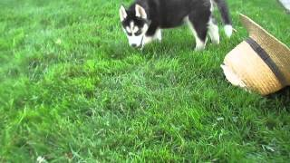 Siberian Husky Puppies For Sale In Kinzers Pa.