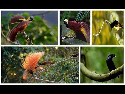 Kicauan Aneka Burung Cendrawasih Menjelegar dan Sangat Merdu Bagaikan Di Surga