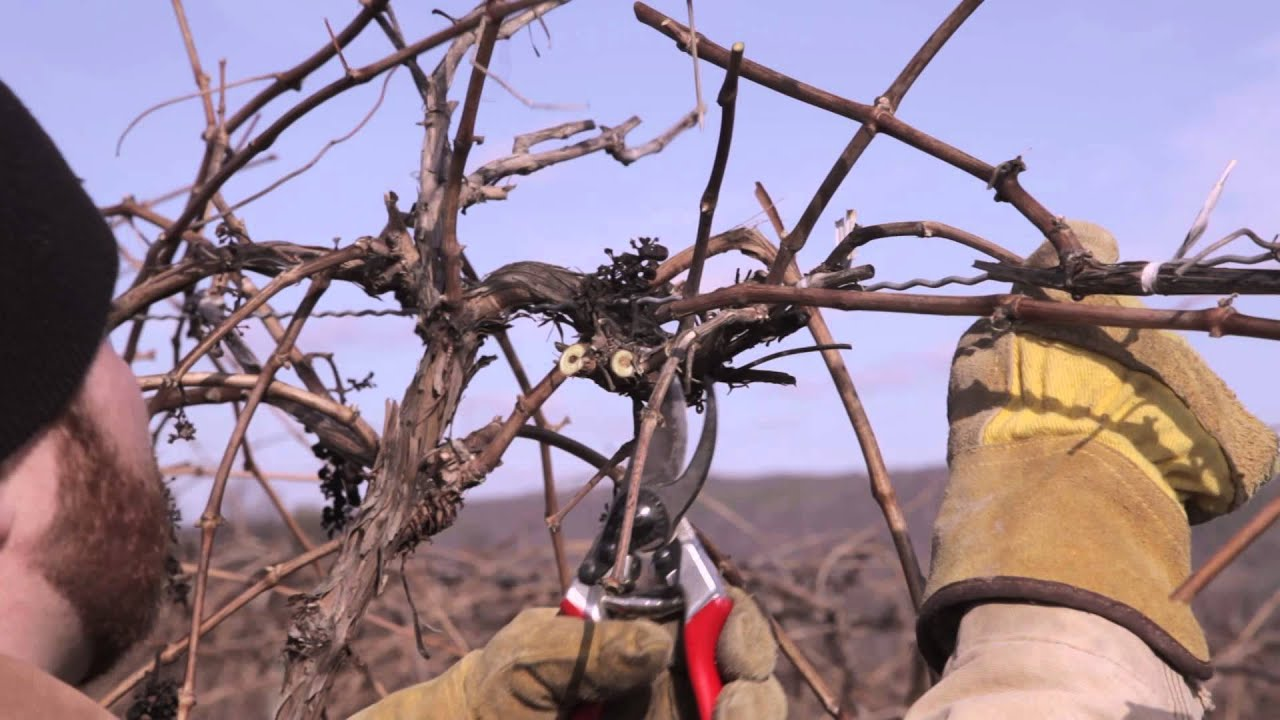 Snoeien Druif How To Prune Grape Vines Top Wire Cordon Youtube