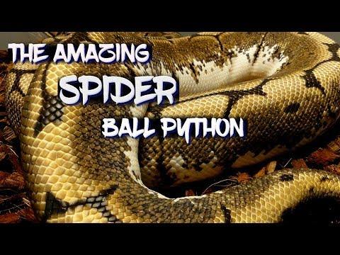 Black Spiders Balls Music Playlist