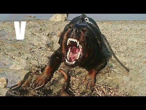 Este es uno de los mejores Perros Policia – Rottweiler