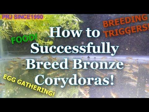 Breeding Bronze Corydoras Fish -Tips From An Amateur!