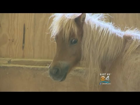 Blind, Starving & Near Death: Miniature Horse Rescued By South Florida SPCA