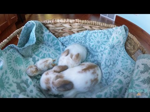 11-Day-Old Holland Lop Babies and a Tiny Peanut Bunny