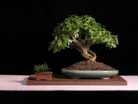 Beautiful Evergreen Bonsai Trees Youtube
