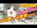 初めてだ!!ニャお~ォオオと雄叫びを上げて食べる子猫たち❤(^^♪Animation of my cute kittens