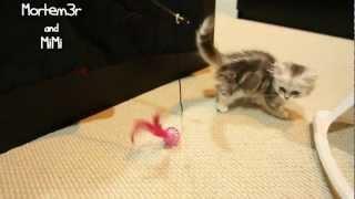 Mimi- The Napoleon Munchkin Kitten!
