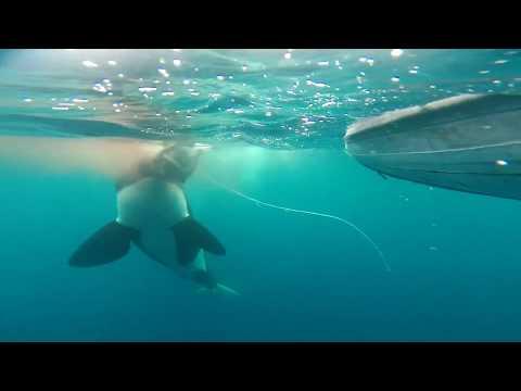 Orcas hunting sea turtles in Wolf Island, Galapagos