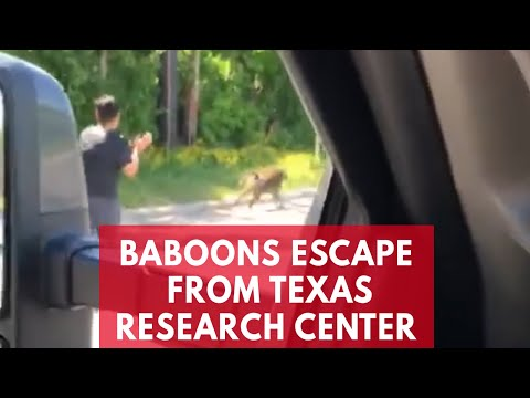 Baboons escape from Texas biomedical research facility