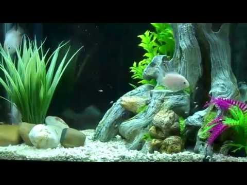 JELLY BEAN CICHLID TANK & LOTS OF BABIES