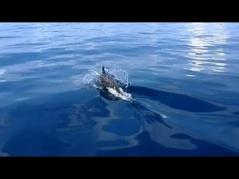 Wilde Delfine im Pazifik
