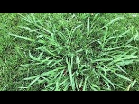 Managing And Selectively Killing Dallisgrass Youtube