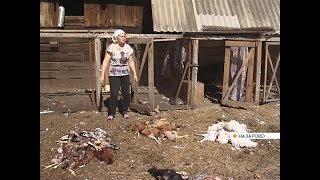 Бродячие собаки загрызли больше сотни кур и гусей в Назарове