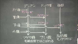 デンプン→ブドウ糖 タンパク質→アミノ酸 脂肪→脂肪酸とモノグリセリド.