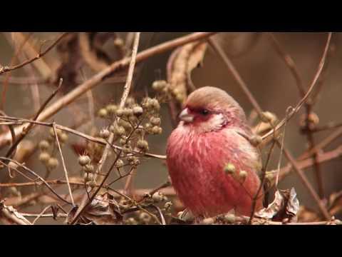 ウツギの実を食べる冬鳥ベニマシコ