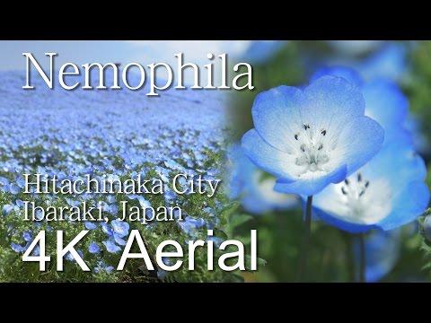 Nemophila[4K]Hitachi Seaside Park,Hitachinaka City|VISIT IBARAKI, JAPAN -OTHER SIGHTS-