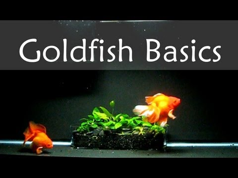 Goldfish Care Basics : Tank Size