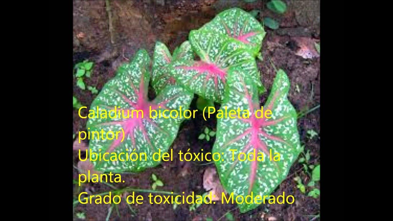 Plantas ornamentales t xicas youtube for Plantas ornamentales