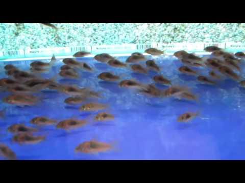 Аквариумные сомики  - коридорас золотистый
