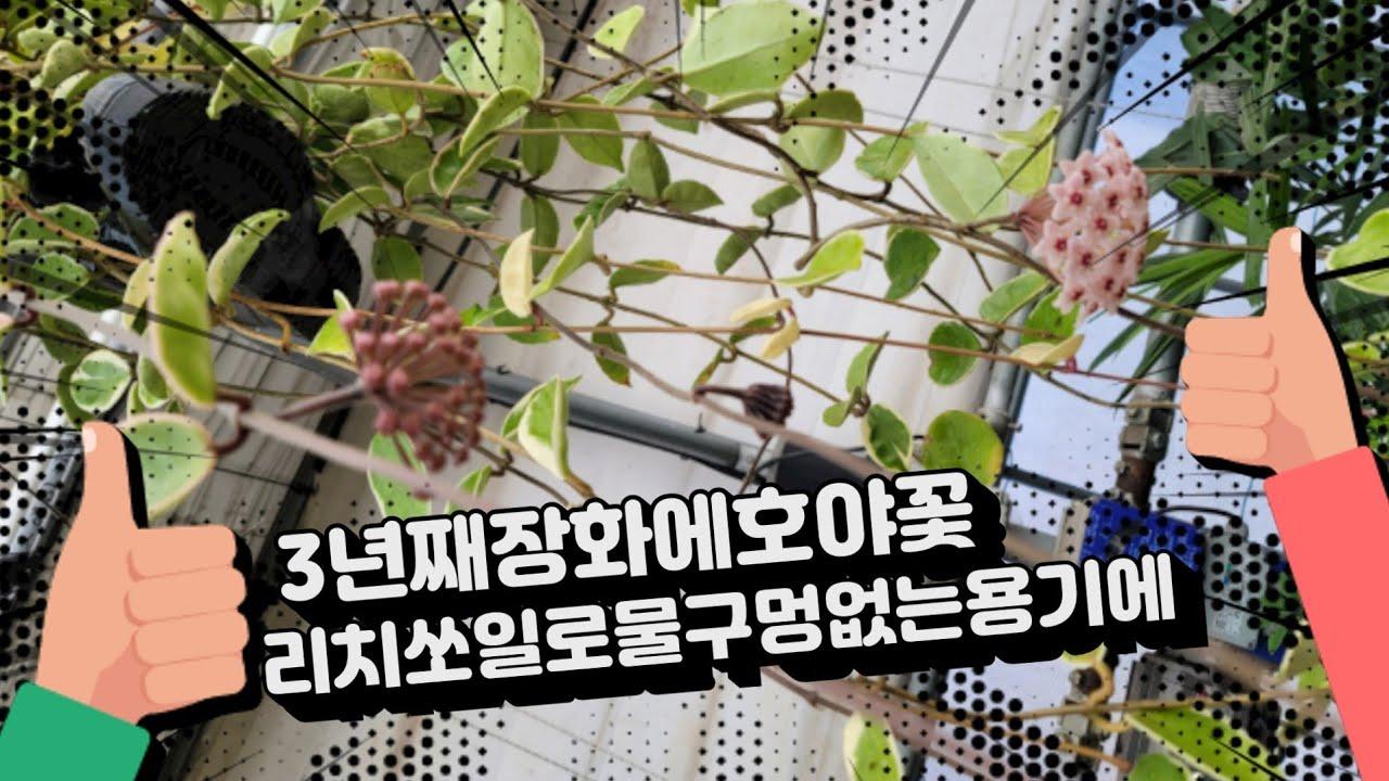 3년째장화에서호야꽃 리치쏘일을 이용하여~^
