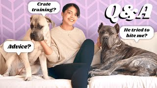 Cane Corso Owner Answers Your Questions