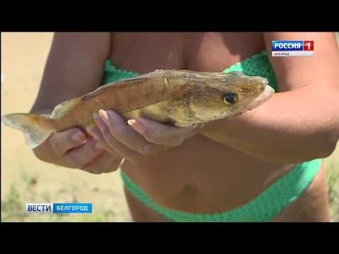 К берегу городского пляжа Белгорода прибились тысячи погибших мальков
