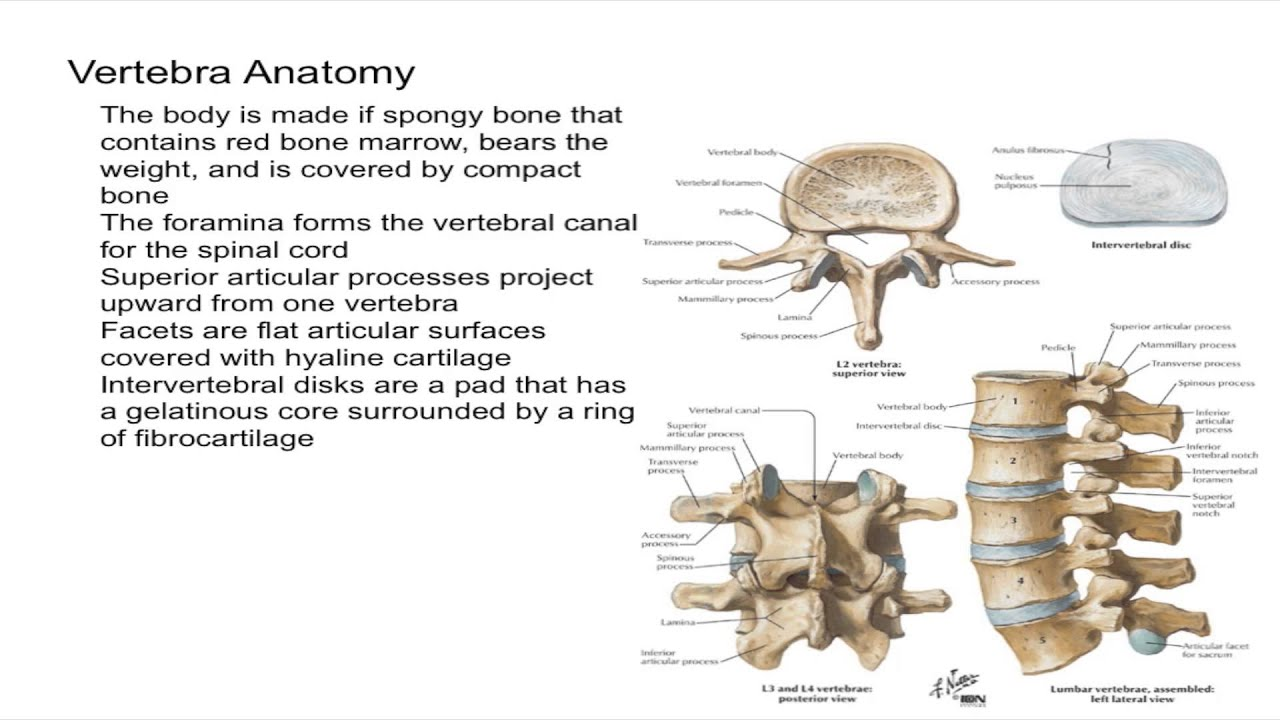 Anatomy of a vertebra