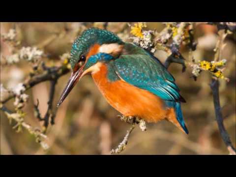 Kingfisher at the Ash Pool