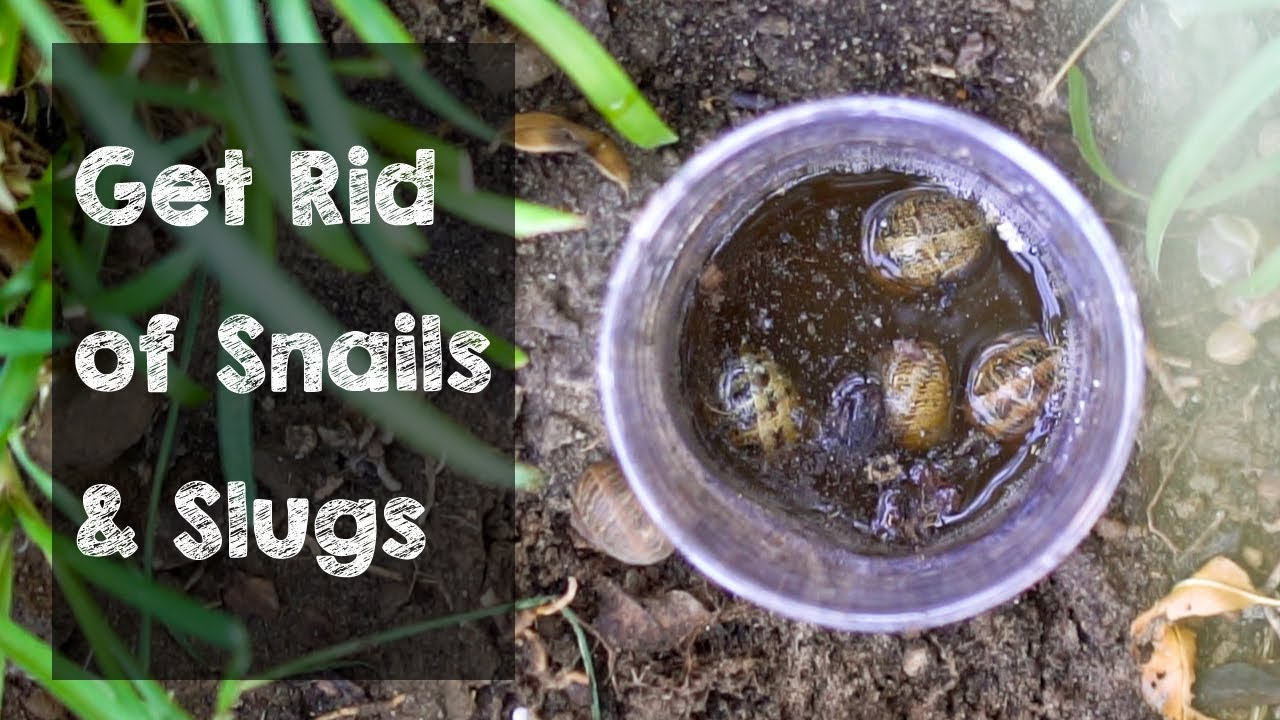 Get Rid Of Snails And Slugs With This Trap Youtube