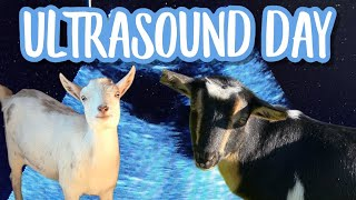 Ultrasounds for our Pregnant GOATS (Ultrasounds for our Miniature Goats)