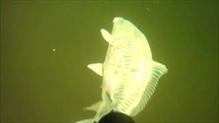 Зеркальный карп 9 кг, Подводная охота и Море рыбы в Волге.