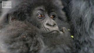 Cute Baby Gorillas! | Amazing Animal Babies | Earth Unplugged