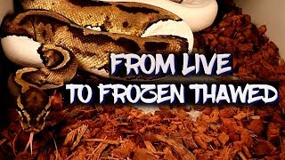 How to transition fŗom live to frozen thawed rodents for your snakes