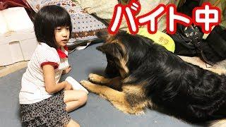 grandchild and German Shepherd dog 子供と何時も遊ぶ大型犬 小学校か...