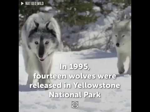 wolves yellowstone park