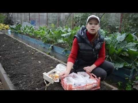 Как сажать лук стурон под зиму