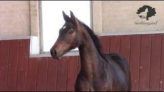 1 yo Grey Flanell / Quaterback colt