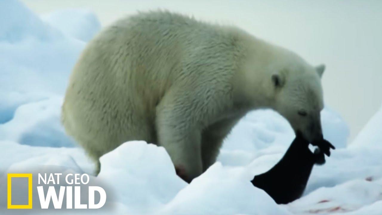 Ours polaire attaque phoque