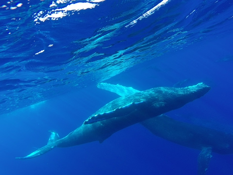 Humpback Love Song (Voice Only)