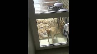 Собака на балконе.