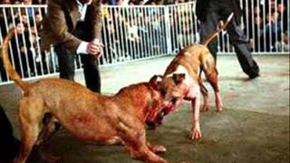 Pitbull chien
