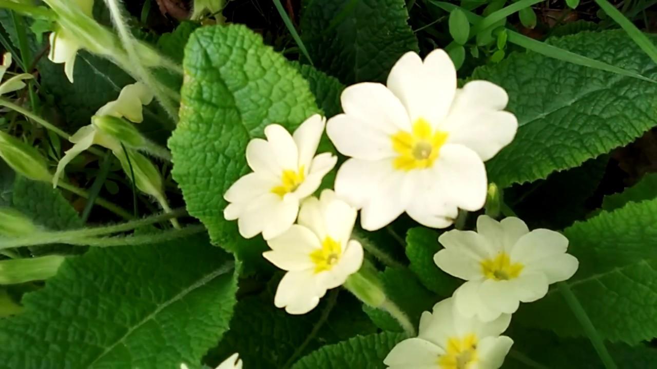 PLANT VLOG: PRIMROSE (HERB IDENTIFICATION)