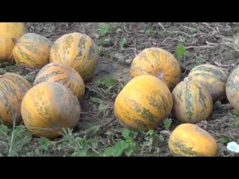 Magyarország Hungary Ungarn #1 * Tök Aratás * Kürbis Ernte * Pumpkin Season