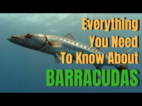 Everything You Need To Know About BARRACUDAS
