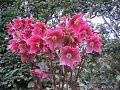 Морозник или зимовник (рождественская роза)
